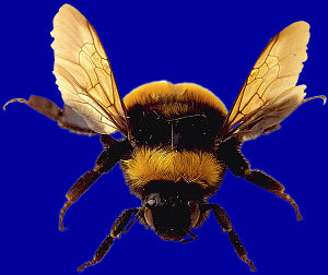 Can Bumblebees Fly